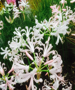UK National Collection holders Nerine bowdenii 'Alba' x 5 Top Grade Bulbs